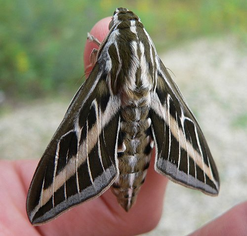 White lined sphinx moth life cycle - photo#4