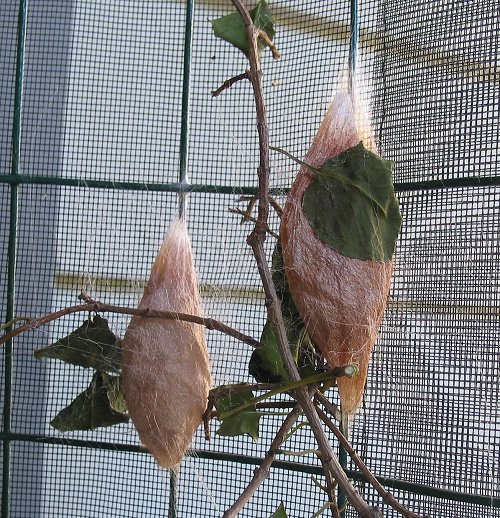 2-cocoons-sept-2004