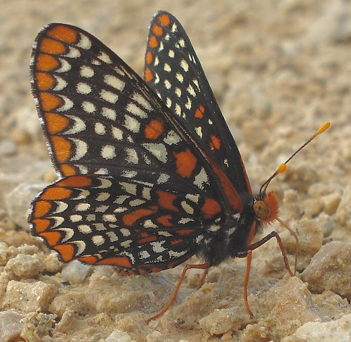 baltimore-checkerspot-6-18-06