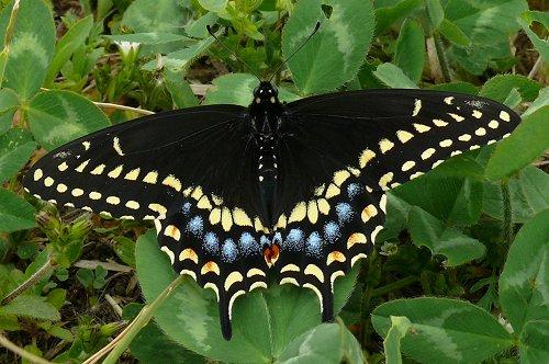 black-swallowtail-5-08-male