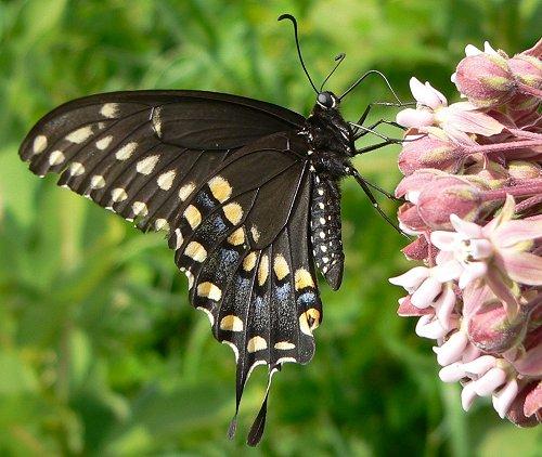 black-swallowtail-7-07