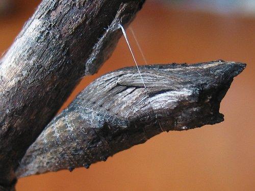 black-swallowtail-chrysalis-brown