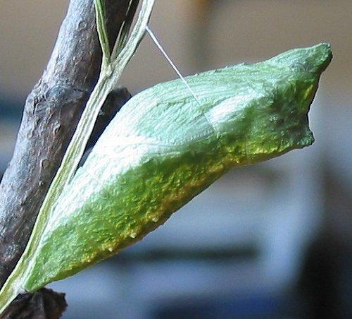 black-swallowtail-chrysalis-green-2