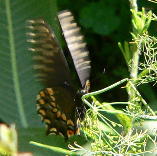 black-swallowtail-laying-eggs-7-27-05