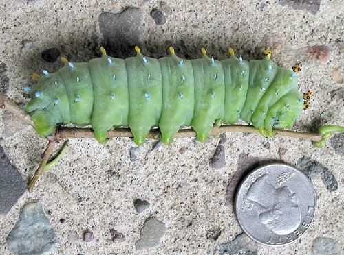 cecropia-moth-caterpillar-8-16-04-with-quarter