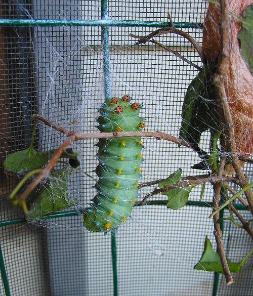 cecropia-moth-caterpillar-beginning-its-cocoon