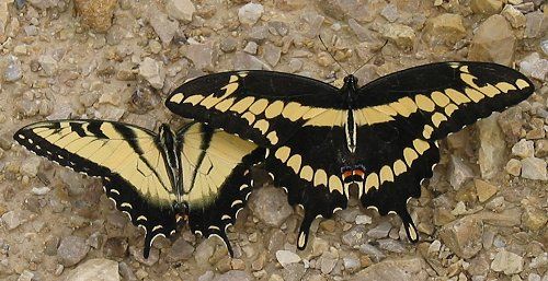 giant-and-tiger-swallowtails