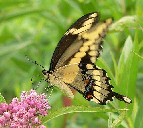 giant-swallowtail-8-7-05