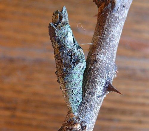 giant-swallowtail-chrysalis10-13-08