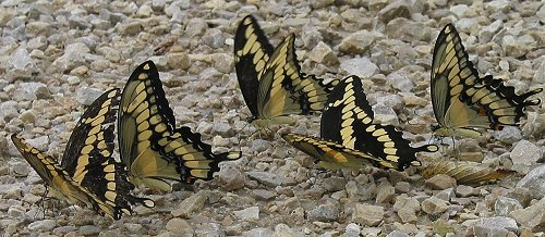giantswallowtails-1-corrected-8-4-02