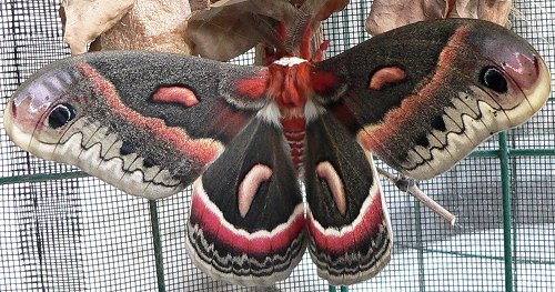 male-cecropia-moth-6-15-06