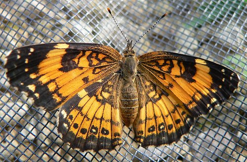 silvery-checkerspot-hatched-6-17-06