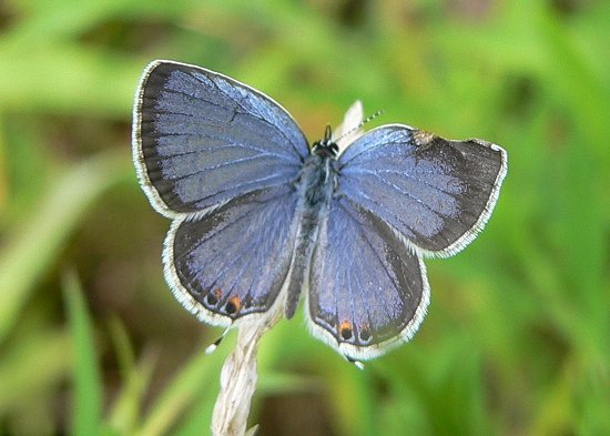 eastern-tailed-blue-2-8-15-05-small