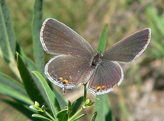 eastern-tailed-blue-7-22-06-small