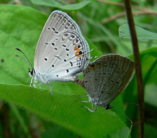 eastern-tailed-blue-mating-8-6-06small
