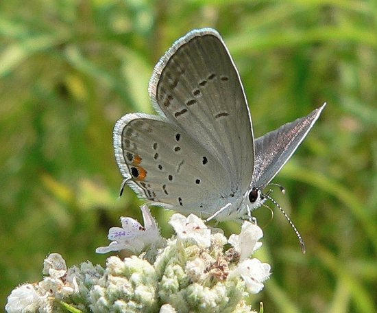 eastern-tailed-blue-on-mountain-mint-7-31-06-small