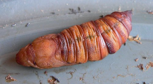 white-lined-sphinx-moth-pupa-8-07