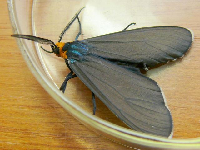 Ctenucha virginica adult
