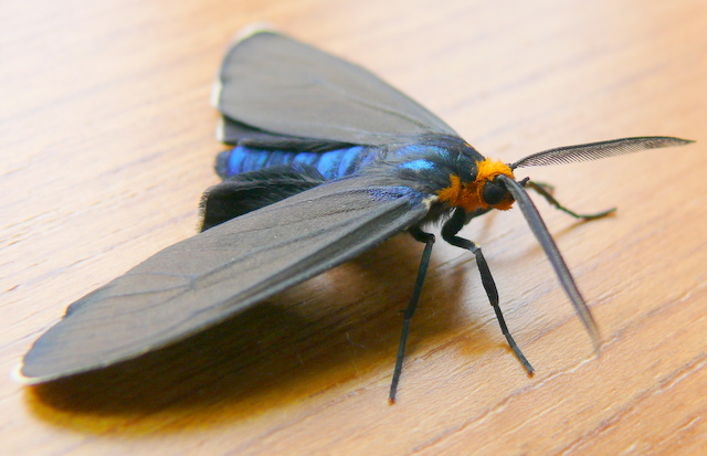 Ctenucha virginica adult