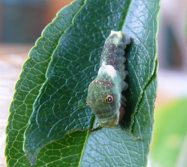 Papilio glaucus larva