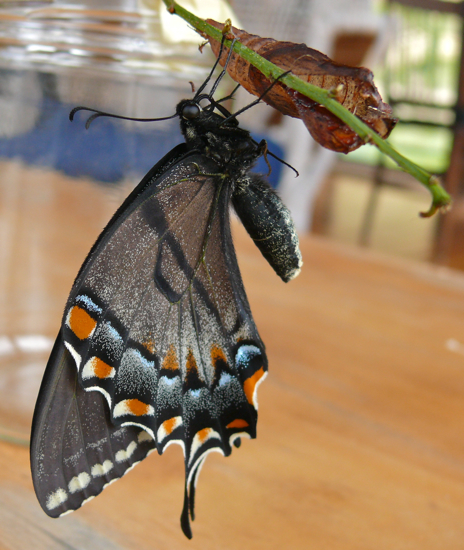 Papilio glaucus adult female