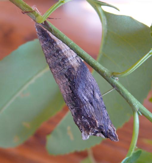 Papilio glaucus pupa