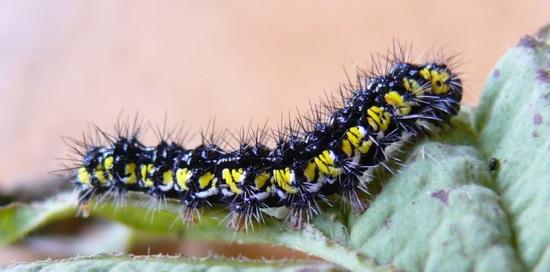 Haploa contigua larva