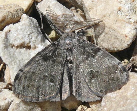 Orgyia leucostigma adult male