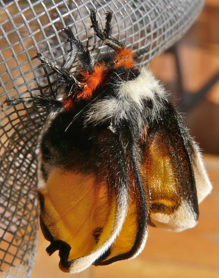 Hemileuca nevadensis