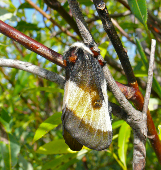 Hemileuca nevadensis female