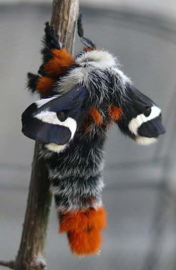 Hemileuca nevadensis male