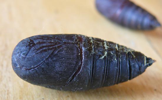 Hemileuca nevadensis pupa