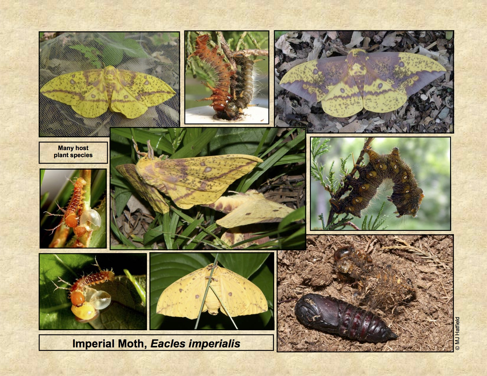 Bug Life Cycles » Lepidoptera – Moths