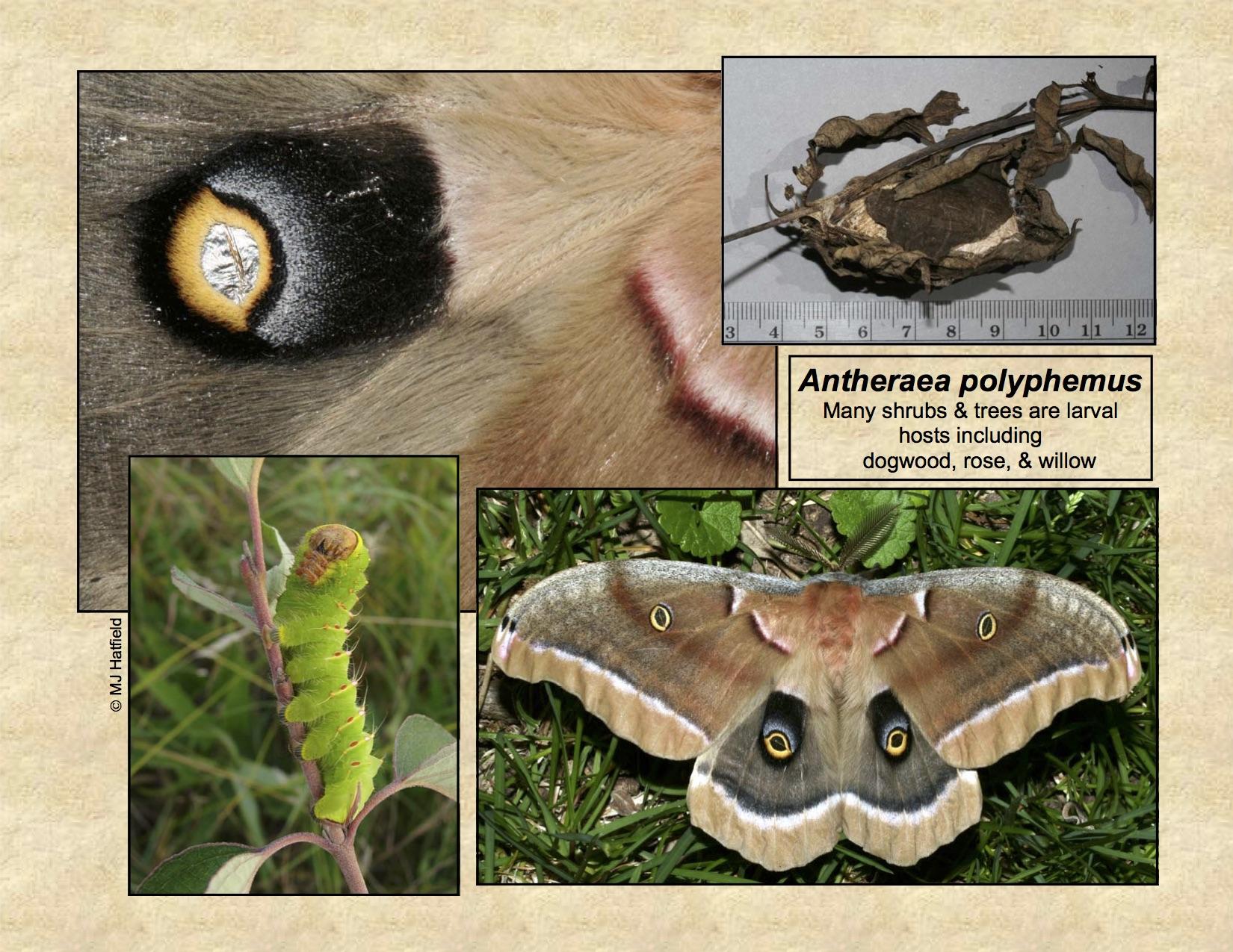 Bug Life Cycles » Lepidoptera – Moths